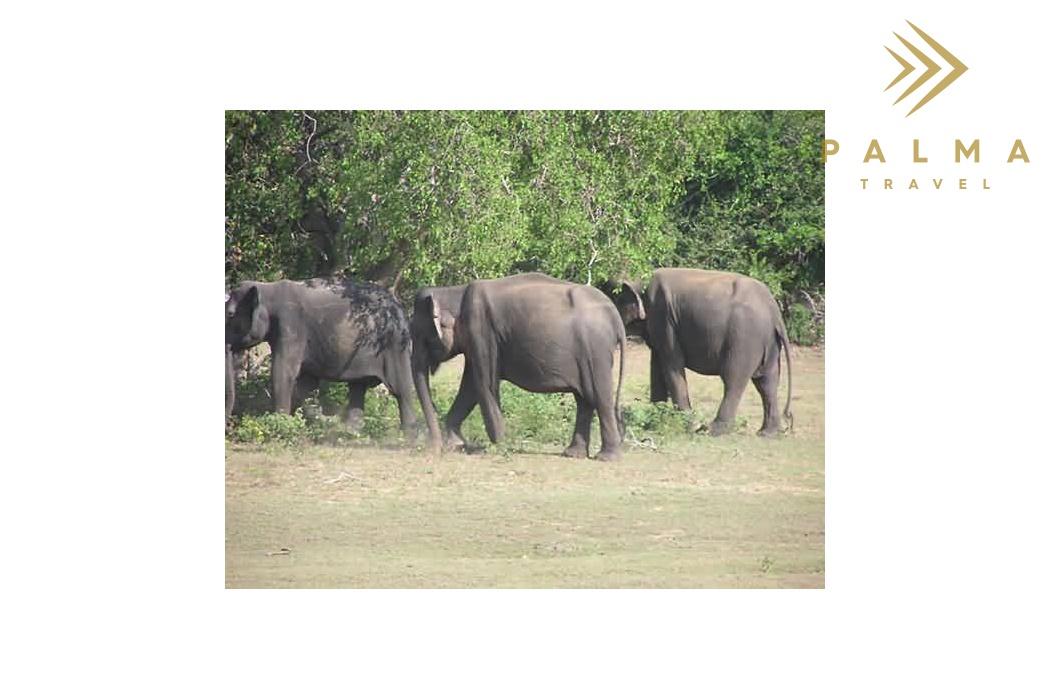 Sloni na Srí Lance