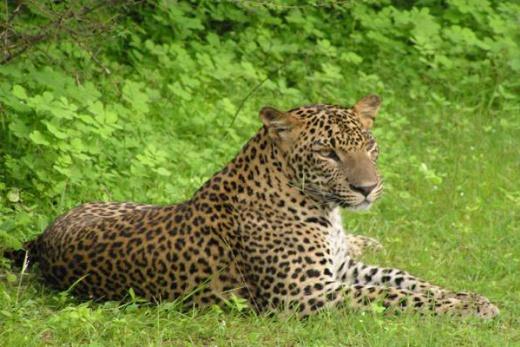 Srí Lanka levhart