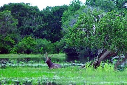 Srí Lanka jelen