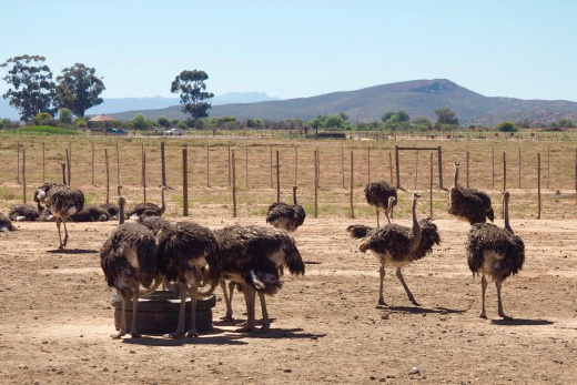 Pštrosí Safari