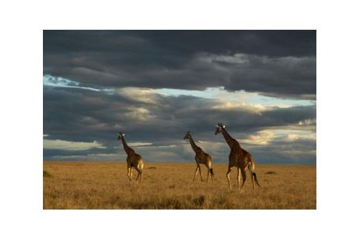 NAIROBI - MAASAI MARA - LK. NAKURU - TREE HOTEL - MT. KENYA