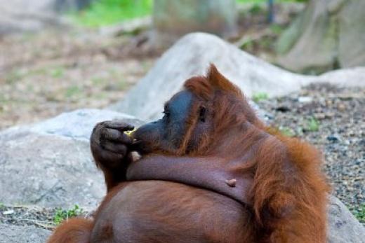Za Kanibaly a orangutany